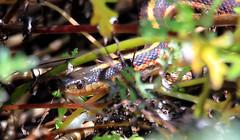 Serpent in the garden (TJ Gehling) Tags: reptile snake colubridae gartersnake commongartersnake californiaredsidedgartersnake thamnophis thamnophissirtalis canyontrailpark elcerrito