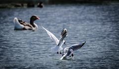 Duo... (fabakira) Tags: fabakira fabakiraphotography fabakiraphotography2017 nikon d7000 nikkor nikkor200500 nature oiseau mouetterieuse mouette lacdauron eau bourges regard faune bird birds bokeh