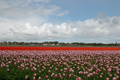 Dutch Tulips (Roelie Wilms) Tags: tulips tulpen tulp rood red lisse nederland wolken clouds spring