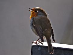 Chirping robin (diarnst) Tags: robin rotkehlchen vogel bird freistellung bokeh outdoor gx8