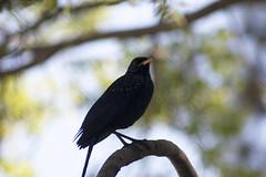 whistling thrust (arju16) Tags: canon canoneos40d destinitation dhrubajyotibhoktiari travel hills mountains kasauli himachalpradesh india hillstation morning mist magical littlebird orientalwhiteeye birdie