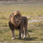 The Lions of the Serengeti thumbnail