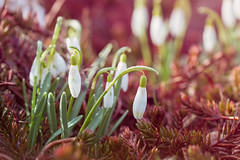 Snowdrops (_Sylvian) Tags: bokeh dream sunrise flowers sunray nature flower dreamworld outdoor depthoffield floral spring garden leaves closeup drops macro flora dof snowdrop leaf dew colorful blooming bloom blossom springtime fence