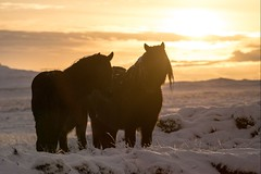 Islande, chevaux, 2 (Patrick.Raymond (4M views)) Tags: islande froid gel hiver neige matin contrejour hdr cheval nikon