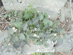 447 (en-ri) Tags: fiorellini sony sonysti verde foglie little flowers