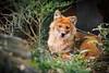 Asian Red Dog - Zoo Neunkirchen, Germany (Sebastian Bayer) Tags: deutschland saarland frühling ausflug neunkirchen natur asiatischerwildhund gefährdet tiere rothund süs liegend tierpark säugetier urlaub tier wildhund zoologischergartenneunkirchen zoo cuonalpinus drausen hübsch hund de