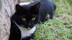 DSC05037 (Olaf Biedron) Tags: afrika schwarzekatze katzenauge katze kater tom grüneaugen aufmerksam imblick blackcat cateye tomcat eye
