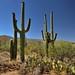 A Backdrop of the Rincon Mountains for Saguaro Cactus