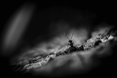 What's up? (photalena) Tags: antpointofview crazytuesdaytheme ameise bw ant 7dwf bokeh nature