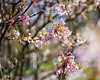 Blossom (pixmixx) Tags: pentacon old prime vintage f18 bokeh blossom spring