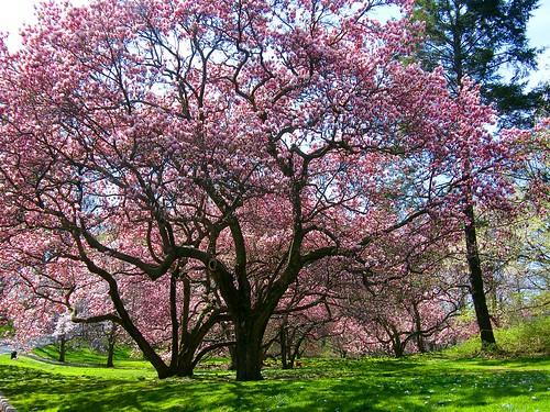 Pink Spring Trees