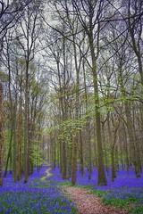 #bluebells #springtime #fujifeed #berkhamsted #ashridge (marcuscheshire) Tags: bluebells springtime fujifeed berkhamsted ashridge