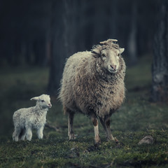 Mother sheep and her lamb in a forest (♥Oxygen♥) Tags: lamb sheep agriculture animal farm mammal young infant landscape livestock meadow naive nature tender wool baby sheap tour animales culture domestic innocence landschaft mother ovine schaf tenderness travel altai russia grass farming green meat cute spring field natural born curly friendly funny look outdoor rural summer farmer feed view altay ngc fineart fineartamerica ariskina oksanaariskina