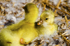 Young geese (Thijs de Zeeuw) Tags: geese goose bird nest nature young animal baby