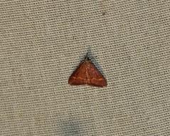 5053 Pyrausta pseuderosnealis, Pyrausta Moth (tripp.davenport) Tags: pyraustapseuderosnealis pyraustamoth uvalde uvaldecounty tx lepidoptera moth 5053