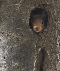 Peeking out (A blond-Tess) Tags: nature naturephotography natur squirrel redsquirrel hide canonphotography canon 7d tamron wildlifephotography curious peekingout outdoorphotography