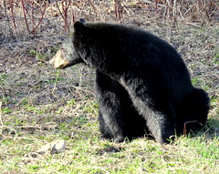 Sunning and snacking (diffuse) Tags: 117 bear eating grass spring sunshine warm black blackbear