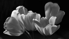 predominant yellow  II (pancolar user) Tags: tulppen tulips bw blackandwhite sw schwarzweis pentacon 28 29mm