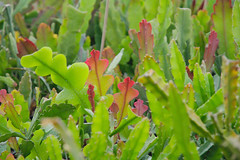 _DSC0076.ppm (nitedojo) Tags: nitedojo kakteenhaage openday epiphyllum