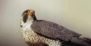 Faucon pèlerin / Peregrine Falcon / Falco peregrinus