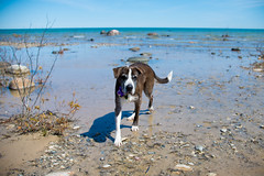 DSC_1256.jpg (tackycactus) Tags: dog adoptdontshop boxer humane society puppy love adopt beautiful cutie family alpena michigan