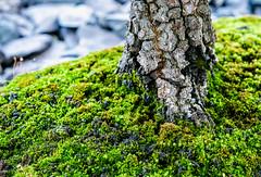forest floor (LoomahPix) Tags: 7dwf bonsai botanic botany closeup flora green kew kewgardens macro moss natural nature organic