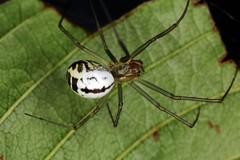 Neriene emphana (chug14) Tags: animalia araignée arthropoda arachnida linyphiidae linyphiinae linyphiaemphana nerieneemphana