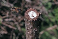 2/9 Supersedure - Hoplitis vs Pemphredon - 14 V 2017 (el.gritche) Tags: hymenoptera france 40 garden megachilidae hoplitistridentata pemphredonlethifer nest behavior supersedure female bee abeille wasp guepe favorites