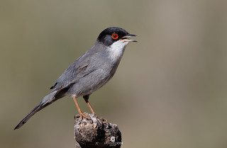 Sardinian warbler (Sylvia melanocephala) - Curruca cabecinegra (Sylvia melanocephala)