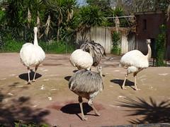 Rome - Zoo, ostrich