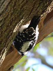 Gravity, Who Cares. This is how I want to hang out! (Janet Tubb) Tags: bird downywoodpecker dryobatespubescens oshawa ontario canada woodpecker