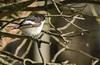 Svartvit flugsnappare - European Pied Flycatcher - Ficedula hypoleuca (Peter Dahlgren) Tags: animal bird black branch brown brun djur europe europeanpiedflycatcher feathering feathers ficedulahypoleuca fjäderdräkt fjädrar fågel fåglar gren grenar natur nature spring svart svartvitflugsnappare sweden vingar vit vår white wings