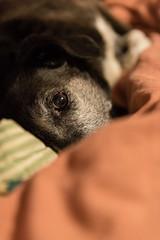 One Eye (Kevin VanEmburgh Photography) Tags: adoptdontshop collie dog dogslife lucy mutt pointer rescue rescuedog westplaza eye looking hide hidden depthoffield doginbed layingonbed doglayingdown