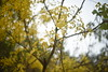 yellow tree (lucky tales) Tags: bokeh nikkor50mm14ai d810