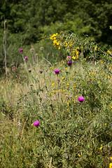 Cardi e ginestre (albert.o_bertoni) Tags: cardo ginestra cardomariano piante categoria complesse erbacee genere marca natura razza risma sorta specie stampo varietà