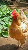 Close up chicken (elianek) Tags: chicken birds animal animals nature natureza passaros galinhas galinha rural ranch galinheiro roça bird passaro frango arlivre