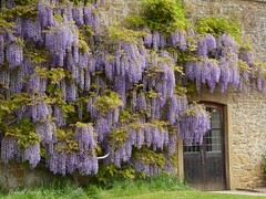 Wisteria (Belinda Fewings (3 million views. Thank You)) Tags: wolfhall montecutehousesomerset montecutehouse somerset building architecture buildings flowers wisteria cascade cascading belindafewings panasoniclumixdmc nationaltrust bokeh city street seaside colour colourful artistic pbwa creativeartphotograhy creative arty beautiful beautify beauty lovely outdoors outside out best depthoffield garden color colours colors interesting interest