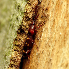 Oak Timberworm (treegrow) Tags: washingtondc rockcreekpark lifeonearth nature canonpowershotsx40hs raynoxdcr250 arthropoda insect beetle coleoptera taxonomy:binomial=arrhenodesminutus arrhenodesminutus brentidae