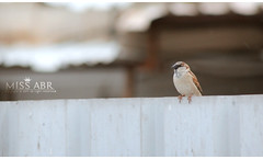 BIRD (miss.abr) Tags: bird animal pet animals birds photo photography photograph canon d550 d600 outside camera capture brown grey gray