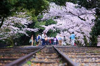 桜 トンネル