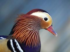 Mandarin duck (Drake) (PhotoLoonie) Tags: mandarinduck mandarin mandarindrake duck closeup feathers colours colourfull wildlife
