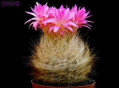 Neoporteria Senilis Weiss (Nyxtofulakas) Tags: neoporteria nidus f senilis eriosyce cactus plant succulent spines flower nature multicolor gerocephala chile