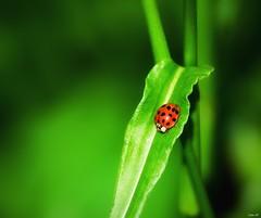 Ladybird (Nina_Ali) Tags: ladybird green red nikond5500 depthoffield leicester spring 2017 nature vibrant ninaali