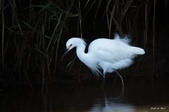 _DSC1313 (P2 New) Tags: 2016 aigretteneigeuse animaux ardéidés ciconiiformes costarica date décembre oiseaux pays riotarcoles provinciadepuntarenas