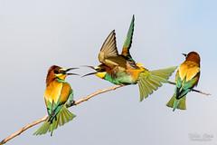 Prise de bec (Fabien Serres) Tags: coraciiformes europeanbeeeater guãªpierdeurope meropsapiaster mã©ropidã©s oiseau bird