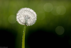 Ready for take-off (oxfordwight) Tags: dandelion seeds macro bokeh weed plant backlit