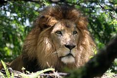 Busch Gardens Tampa: African Lion (Jasmine'sCamera) Tags: busch buschgardens gardens tampa florida usa zoo animal animals wild wildlife africanlion african lion lioness africanlioness