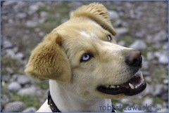 blue eyes -- explore (zawaski) Tags: alberta beauty canada canmore naturallight noflash dog zawaski©2017 dogs calgary love rocky ambientlight mountains canonefs18200mmf3556is explore blueeyes blue
