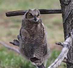 Great Horned Owl Fledgling (fethers1) Tags: rockymountainarsenalnwr rmanwr rmanwrwildlife coloradowildlife bird