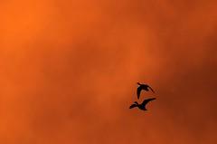 Last Light Flight. (GWP_Photo) Tags: calgary alberta canada bird outside sunset nikon d7000 nikkor 200500 geese